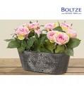 Boltze Rose im Topf Höhe 22 cm