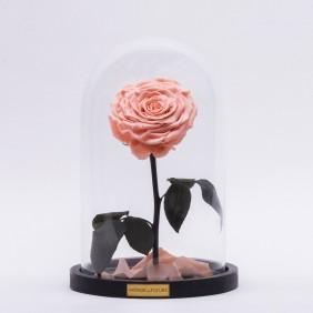 Monde des Fleurs La Bête Infinity Rose in Apricot
