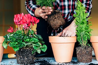 pflanzen umtopfen derart kmmernde pflanzen knnen durch umtopfen oftmals noch gerettet werden u. Black Bedroom Furniture Sets. Home Design Ideas