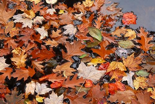 Erster Schritt bei der Teichpflege im Herbst: Laub entfernen!